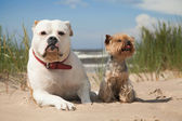 Yorkie and bulldog — Stock Photo