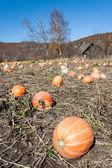 Pumpkin field with huge ripe pumpkins — Stock Photo