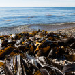 Seaweed kelp is on the seashore — Stock Photo