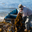 Workers unload seaweed kelp from boat to shore. — Stock Photo #31863671