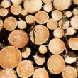 Freshly chopped tree logs — Stock Photo