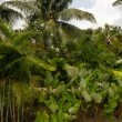 Coconut palms and other tropical vegetation. — Stock Photo
