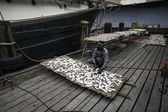 Fisherman prepares fish for drying on the grid in the fishing po — Stock Photo