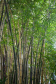 Thickets of bamboo  — Foto de Stock