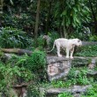 White tigers in the rainforest — Stock Photo #45128949