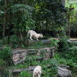 White tigers in the rainforest — Stock Photo