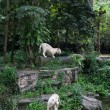 White tigers in the rainforest — Stock Photo #45128985