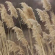 Dry sedge in the wind - Stock Photo