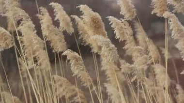 Dry sedge in the wind — Stock Video #12696040