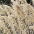 Dry sedge in the wind — Stock Video