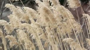 Dry sedge in the wind — Vídeo de stock #13250412