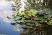 Beautiful pink Lotus flower floating in a lily pond — Stock Photo