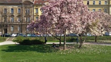 Magnolia tree in Zagreb — Stock Video