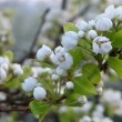 Cherry branch in bloom — Stock Video #44024273