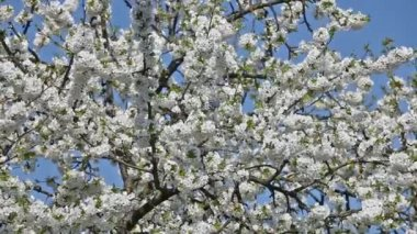 Cherry tree in bloom — Stock Video