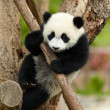 Giant panda baby over the tree - Stock Photo