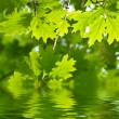 Green leaves reflecting in the water — Stock Photo #12177769