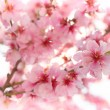 Spring apple blossoms — Stock Photo