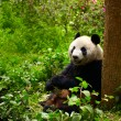 Giant panda eating bamboo — Stock Photo #12177976