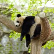 Sleeping giant panda baby — Stock Photo #12178072