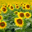 Sunflowers — Stock Photo #12178120