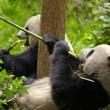 Giant panda eating bamboo — Stock Photo #12178124