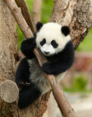Giant panda baby over the tree — Stock Photo