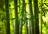 Bamboo forest background — Stock Photo