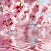 Våren äpple blommar — Stockfoto