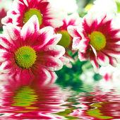 デイジー-ピンクガーベラ、水に反映のクローズ アップ — ストック写真