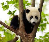 Giant panda baby over the tree — Stock Photo