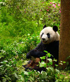 Giant panda eating bamboo — Stockfoto