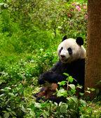 大熊猫吃竹子 — 图库照片