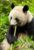 Giant panda eating bamboo — Stok fotoğraf