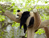 Sleeping giant panda baby — 图库照片