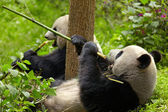 гигантской панды едят бамбук — Стоковое фото