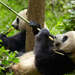 Giant panda eating bamboo — Stock fotografie
