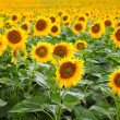 Sunflowers — Stock Photo #13845738
