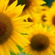 Sunflowers — Stock Photo #13845774