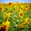 Sunflowers — Stock Photo #13845776