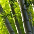 Stock Photo: Bamboo forest background. Shallow DOF