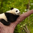 Sleeping giant panda baby — Stock Photo