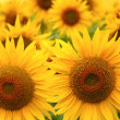 Sunflowers — Stock Photo #13845896
