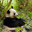 Giant panda eating bamboo — Photo