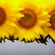 Three sunflowers with copyspase — Stock Photo