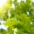 Green maple leaves — Stock Photo