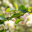 Stock Photo: Spring blossoms