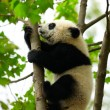 Stock Photo: Giant panda baby over the tree