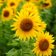 Sunflowers — Stock Photo #13846215
