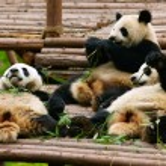 Giant panda bears — Stock Photo #13846219
